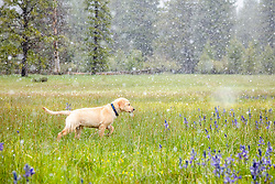 """""""Puppy in Snowy Sagehen Meadows 5"""" - Photograph of a Golden Retriever puppy """"Quill"""" playing in the snow and Camas wildflowers at Sagehen Meadows, a little north of Truckee, California."""