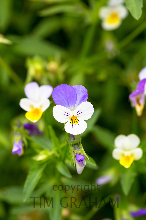 Viola edible flowers for salads in vegetable garden in Oxfordshire, UK