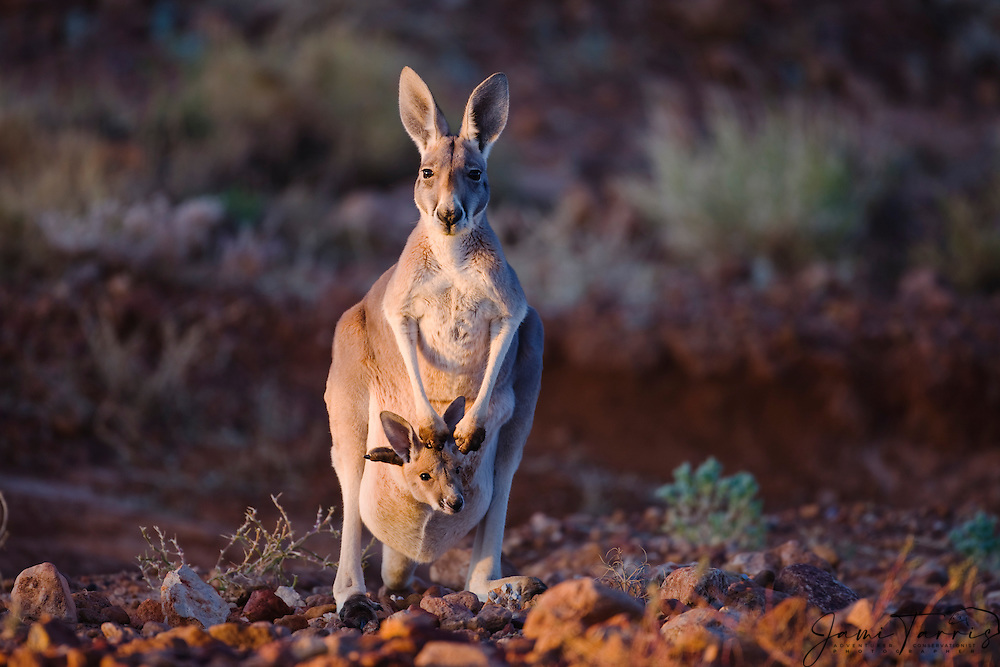 A female red kangaroo (Macropus rufus) and her joey in the pouch, evening light, Lake Eyre, Australia