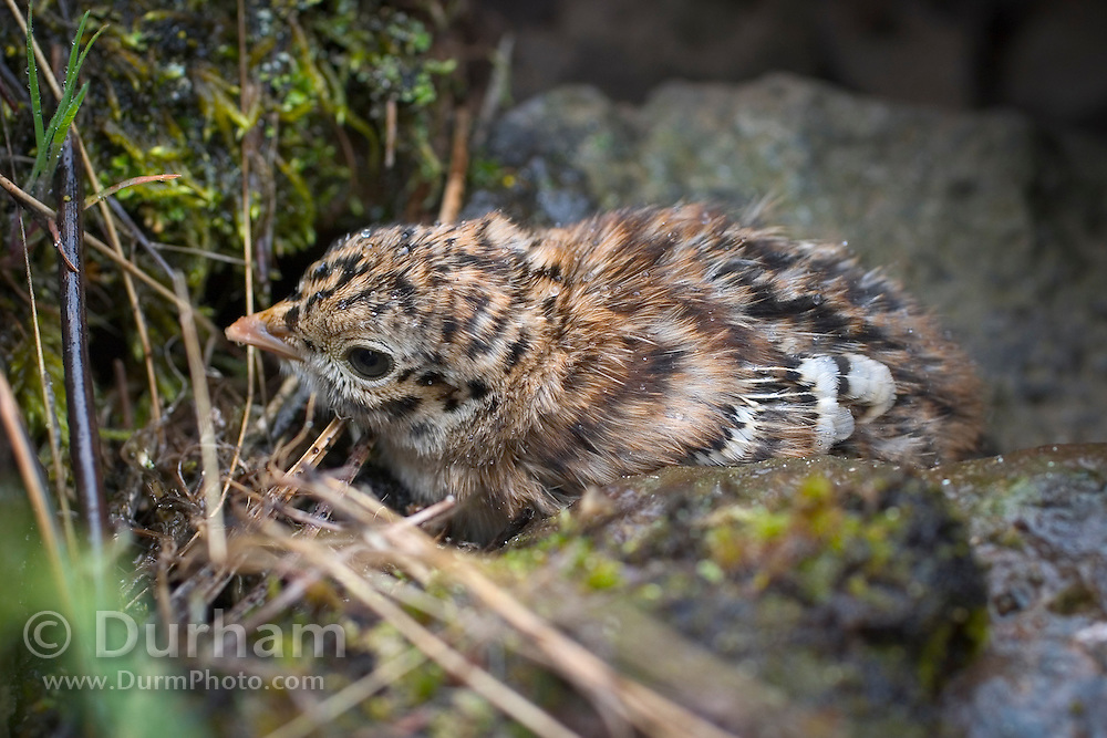 A newly hatched blue grouse chick (Dendragapus obscuris) hiding in rock scree in Northeast Oregon.