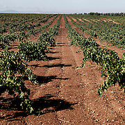 Vineyards near Almendralejo, Badajoz province, Extremadura region, Spain . The WAY OF SAINT JAMES or CAMINO DE SANTIAGO following the Silver Way, between Seville and Astorga, SPAIN. Tradition says that the body and head of St. James, after his execution circa. 44 AD, was taken by boat from Jerusalem to Santiago de Compostela. The Cathedral built to keep the remains has long been regarded as important as Rome and Jerusalem in terms of Christian religious significance, a site worthy to be a pilgrimage destination for over a thousand years. In addition to people undertaking a religious pilgrimage, there are many travellers and hikers who nowadays walk the route for non-religious reasons: travel, sport, or simply the challenge of weeks of walking in a foreign land. In Spain there are many different paths to reach Santiago. The three main ones are the French, the Silver and the Coastal or Northern Way. The pilgrimage was named one of UNESCO's World Heritage Sites in 1993. When there is a Holy Compostellan Year (whenever July 25 falls on a Sunday; the next will be 2010) the Galician government's Xacobeo tourism campaign is unleashed once more. Last Compostellan year was 2004 and the number of pilgrims increased to almost 200.000 people.