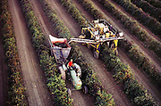 Wine grape harvest with a single row mechanical grape harvester, Kern County, California. USA.