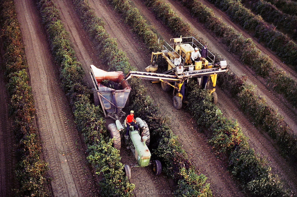 Wine grape harvest with a single row mechanical grape harvester, Kern County, California. USA.