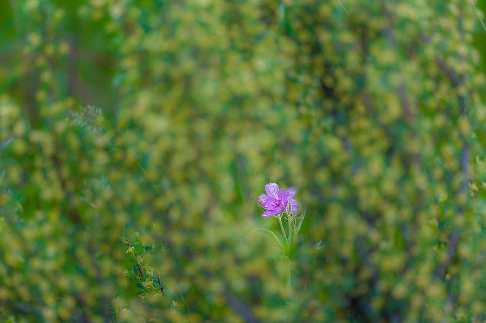 Wild geranium, Methow Valley, Okanogan County, Washington, USA