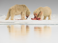 Polar bears (ursus maritimus) on seal carcass in the drifting ice in Storfjorden, Spitsbergen, Svalbard, Norway