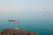 A Frankincense Tree near Hadibu, Socotra, Yemen