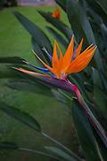 Bird of Paradise, Flower, Hawaii