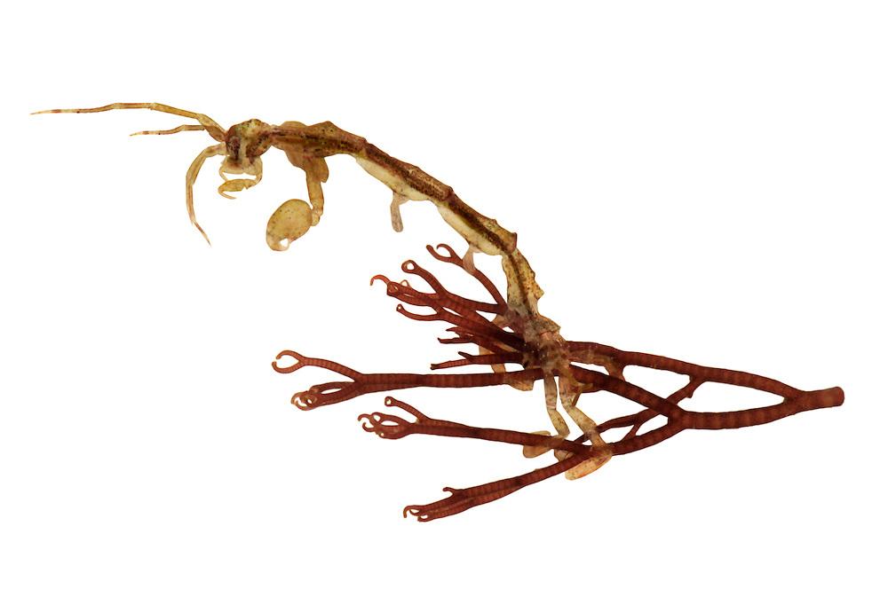 Caprella linearis on Ceranium rubrum
