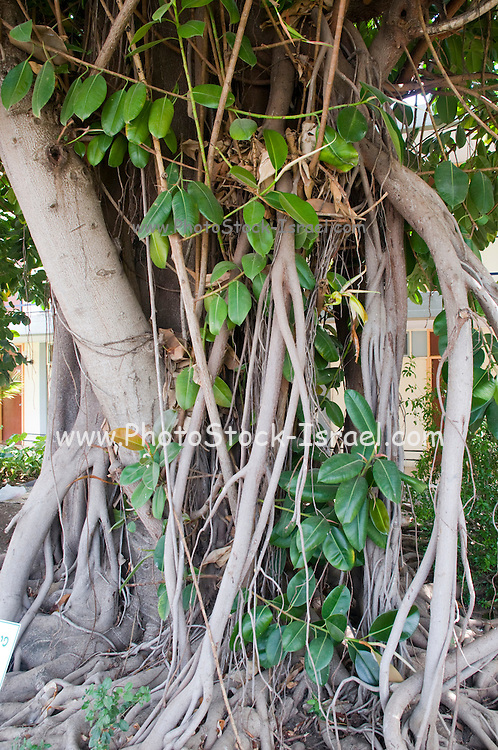 Ficus elastica, also called the rubber fig