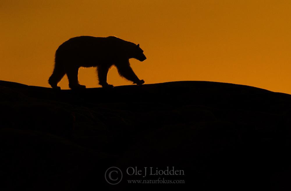 Polar bear (Ursus maritimus) in silhuett against orange background, Nordaustlandet, Svalbard