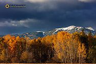 Autumn aspen grove with early season snow on Big Mountain in Whitefish, Montana, USA