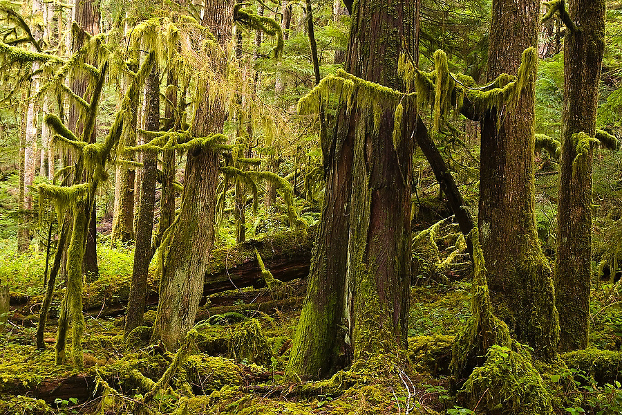 A grove of moss covered trees in the old growth forest along the Marymere Falls Trail near Lake Crescent, in Olympic National Park, Washington. The one-mile trail winds through mossy old growth forest to popular Marymere Falls.