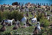 decoys of short-tailed albatross or Steller's albatross, Phoebastria albatrus, the rarest albatross in the world ( Critically Endangered Species ), on Eastern Island, Midway Atoll, Midway National Wildlife Refuge, Papahanaumokuakea Marine National Monument, Northwest Hawaiian Islands, USA ( North Pacific Ocean ); decoys are meant to attract mature birds in hopes of re-establishing a breeding colony of short-tailed albatross on Midway