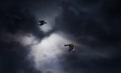 A Hawk and Crow Give Chase Through Stormy Skies