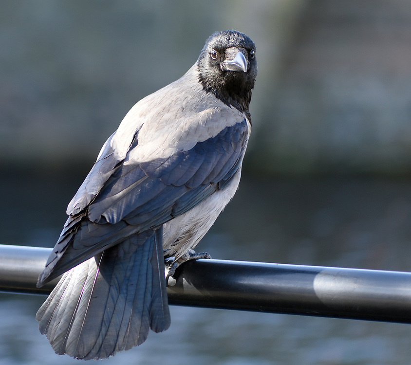 A Hooded Crow (Corvus cornix) perches on a railing on a quay in Alesund harbour. Ålesund, Møre og Romsdal, Norway.