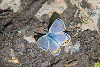 A male acmon blue butterfly in Central Washington drinks moisture from the mud after a soaking summer rain in the rural canyons south of Yakima, Washington.