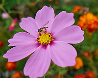 Hoverfly on a Cosmos. Image taken with a Leica SL2s camera and Loawa 24 mm f/14 macro lens.