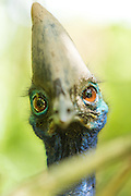 Cassowary Bird, Mount Hagen, Western Highlands Province, Papua New Guinea