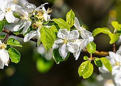 THEMENBILD - Wassertropfen auf Blüten eines Apfelbaumes, aufgenommen am 30. April 2018 in Kaprun, Österreich // Drops of water on flowers of an apple tree, Kaprun, Austria on 2018/04/30. EXPA Pictures © 2018, PhotoCredit: EXPA/ JFK
