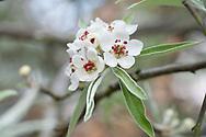 Pyrus.  Ornamental pear blossom