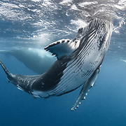 This is a male humpback whale calf (Megaptera novaeangliae) poking his head out of the water, a behavior that is often referred to as spyhopping. The calf's mother is in the background.