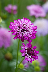 Scabiosa 'Tall Mixed'. Scabious