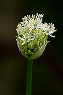 """Allium 'Mount Everest"""" bud"""
