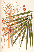 Hand painted botanical study of Dates palm anatomy from Fragmenta Botanica by Nikolaus Joseph Freiherr von Jacquin or Baron Nikolaus von Jacquin (printed in Vienna in 1809)