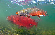 Dolly Varden (with Chinook Salmon)<br /> <br /> Patrick Clayton/Engbretson Underwater Photography