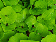 Image of the leaves of wild ginger (Asarum canadense) taken in Fitchburg, Wisconsin, USA.