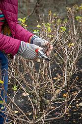 Pruning a gooseberry bush in winter. Shortening branch tips back to a quarter. Ribes uva-crispa 'Jubilee'