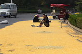 Yellow corn kernels are aired in the sun along a road