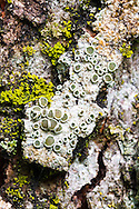 """Lichen and mosses on the bark of a Sugar Maple tree.  The cup like projections are called Apothecia and are cup shaped fruiting bodies of the lichen.  I think this is my only photograph that qualifies as a """"Macro Panorama""""."""