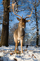 Wide angle of Fallow Deer buck standing in snow, head on, with herd and trees in background