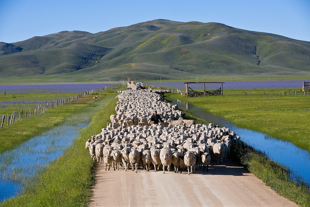 Flock of sheep being herder along Centennial March wetlands with Camas wildflowers blooming on both sides of rural road in Southwest Idaho
