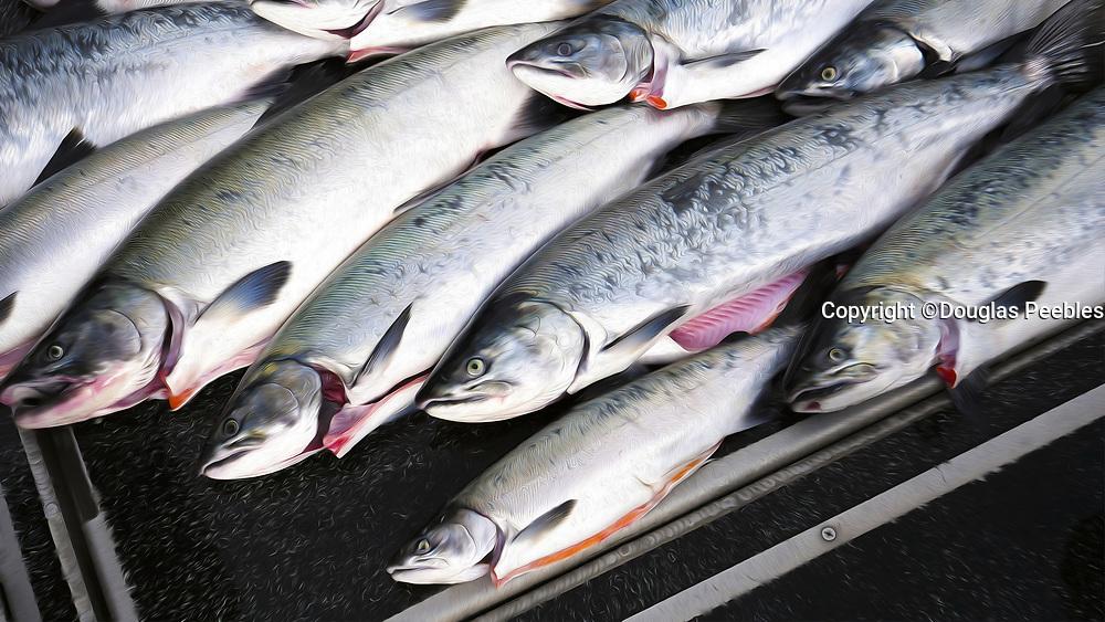 Salmon fishing, Talon Lodge & Spa, Sitka, Alaska, USA