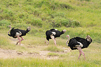 Three male Common Ostriches, Struthio camelus, in Maasai Mara National Reserve, Kenya