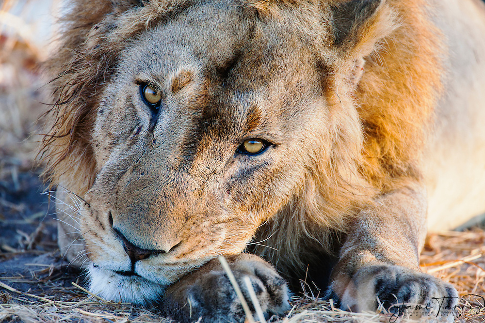 A close-up portrait of the face of a male lion (Panthera Leo) resting his head on his paws, Moremi Game Reserve, Botswana,Africa