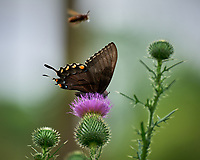 Eastern Tiger Swallowtail butterfly (Dark Morph). Image taken with a Leica SL2 camera and 90-280 mm lens