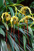 A yellow Ladyslipper Orchid drops red tendrils in the Cordillera Vilcabamba, Andes mountains, Peru, South America.