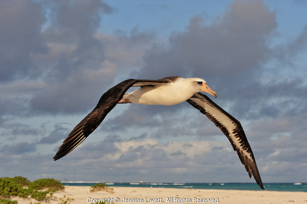 Layson albatross, Phoebastria immutabilis. Midway Island. Layson albratross after take off in flight over land.