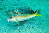 Goatfish, Parrotfish, and Wrasse hunting together...Shot in British Virgin Islands
