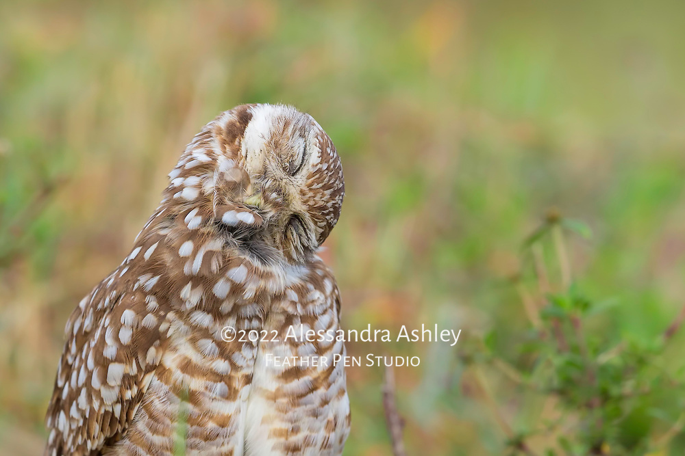 Burrowing owl (Athene cunicularia) takes a quick nap in place above its burrow. Hunting by night and staying awake by day can make an owl very sleepy!