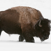 Large bull Bison in Yellowstone National Park, Wyoming.