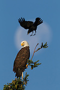 An American Crow (Corvus brachyrhynchos) dives to attack a Bald Eagle (Haliaeetus leucocephalus) as it watches over its nest in Kirkland, Washington. The nearly full moon is visible in the background. Crows are often seen chasing hawks or eagles in flight, or repeatedly diving at them when they perched, a practice known as mobbing. Research is inconclusive, but scientists think this harassment helps to force the birds of prey to hunt elsewhere, ultimately reducing the threat to the crows and lowering competition for food..
