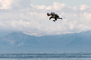 A juvenile bald eagle carries fish scraps inflight past the Chigmit Mountains along the beach on the Cook Inlet at Anchor Point, Alaska.