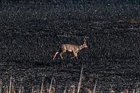 Biebrzanski Park Narodowy, 23.04.2020. Olbrzymi pozar w Biebrzanskim Parku Narodowym. Od niedzieli ( 19.04 ) plonie tam ok. 6000 hektarow lak, torfowisk, trzcinowisk i lasu. Gaszenie pozaru moze potrwac nawet pare dni. BPN jest najwiekszym polskim parkiem narodowym, maja tu swoja ostoje m.in losie oraz liczne gatunki ptakow N/z koziol sarny szuka pozywienia na spalonej lace fot Michal Kosc / AGENCJA WSCHOD