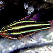Blackstripe Cardinalfish inhabit reefs lurking under ledges and in caves. Picture taken Vanuatu.