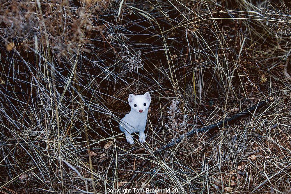 Longtailed Weasle in winter coat of white fur hunting