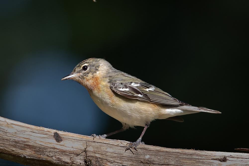 Setophaga castanea, Galveston Island, east Texas, May 2020 - late migration